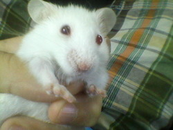 Kouki, rongeur Hamster