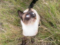 Koukou, chat Siamois