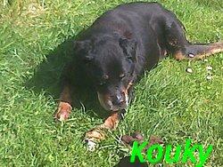 Kouky, chien Rottweiler