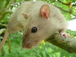 Koumal, rongeur Rat