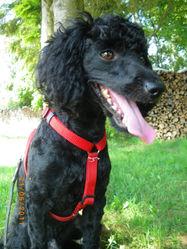 Kousic, chien Caniche