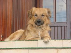 Kousky, chien
