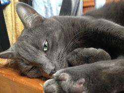 Kovou, chat Chartreux