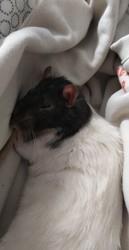 Kovu, rongeur Rat