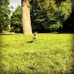 Kovu, chien Jack Russell Terrier