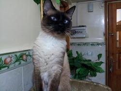 Krimou, chat Siamois