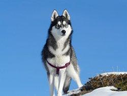 Krishka, chien Husky sibérien