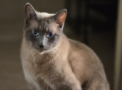 Krishna, chat Siamois