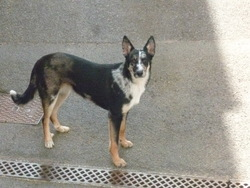 Krishna, chien