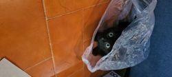 Krokmou, chaton Siamois