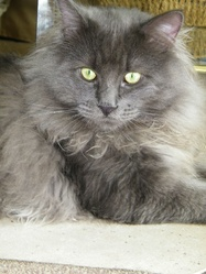 Krokmou, chat Maine Coon
