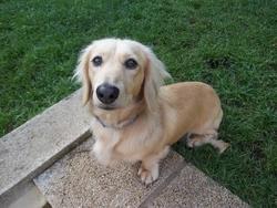 Kruger, chien Teckel