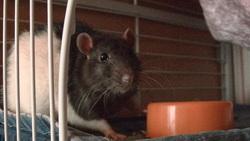 Krusty, rongeur Rat