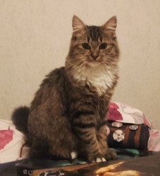 Kryll, chat Persan