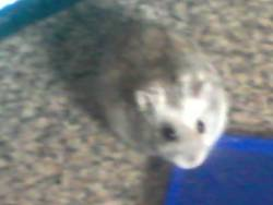 Krystal, rongeur Hamster