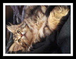 Krystal, chat Maine Coon