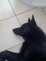 Krystal, chien Labrador Retriever