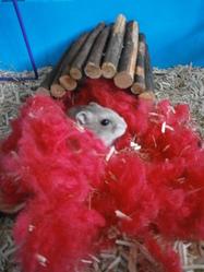 Kugluktuk, rongeur Hamster