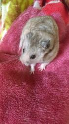 Kuiwi, rongeur Hamster