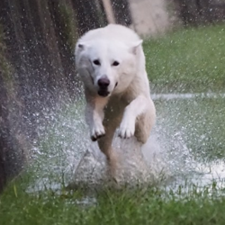 Kujo, chien Berger blanc suisse