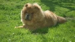 Kuma, chien Chow-Chow