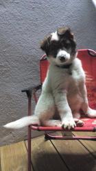 Kuma, chien