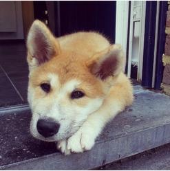 Kuma, chien Akita Inu