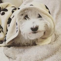 Kunkun, chien Bichon maltais