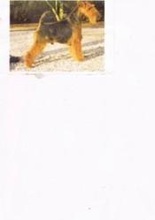 Kunze Reno Champion France, chien Welsh Terrier