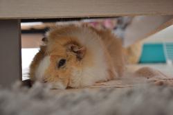 Kupo, rongeur Cochon d'Inde