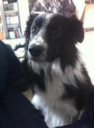 Kuro, chien Border Collie