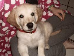 Kurt, chien Golden Retriever