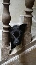 Kurtys, chien Border Collie