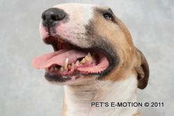 Kya, chien Bull Terrier