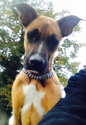 Kya, chien Boxer