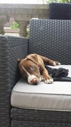 Kyara, chien American Staffordshire Terrier