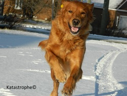 Kyara, chien Golden Retriever