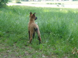 Kyara, chien Berger belge
