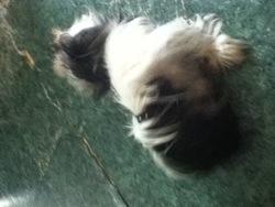 Kyara, chien Shih Tzu