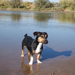 Kyëra, chien Jack Russell Terrier