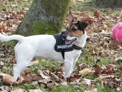 Kyera, chien Jack Russell Terrier