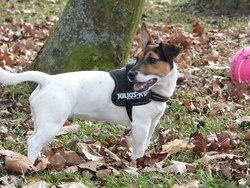 Kyera, chien Jack Russell Terrier