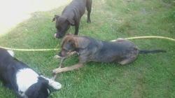 Kyera, chien American Staffordshire Terrier