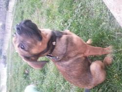 Kyhnai, chien Rottweiler