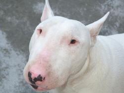 Kyle, chien Bull Terrier
