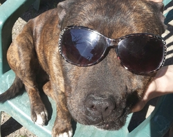 Kyle, chien Staffordshire Bull Terrier