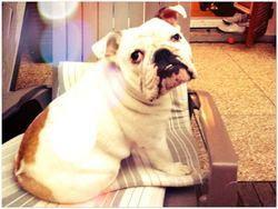 Kylee, chien Bulldog