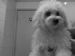 Kylie, chien Bichon bolonais