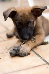 Kymbo, chien Berger belge