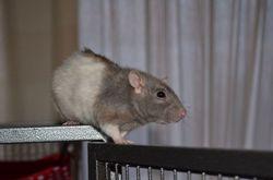 Kyne, rongeur Rat